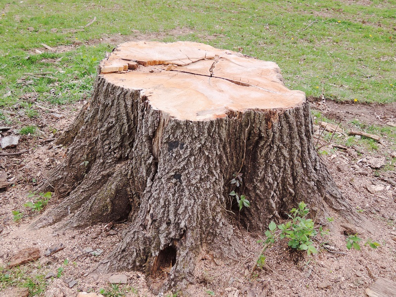 Can Old Tree Stumps Attract Termites